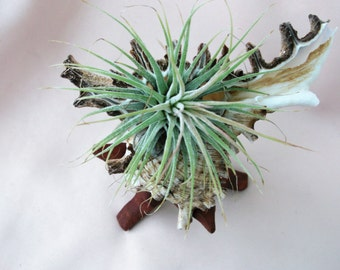 Large Pacific Murex seashell air plant arrangement is ready for a perfect gift.
