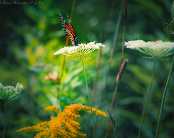 BUTTERFLY in the WILDFLOWERS Fine Art Photography GARDEN Print Nature Photo Goldenrod Queen Anne's Lace Monarch