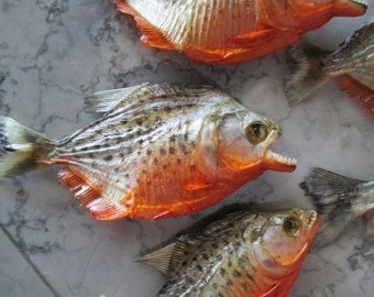 Set of 5 Spotted Red Belly Piranha Specimens - SHIP FREE
