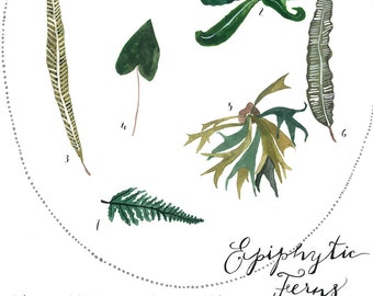 Antique Inspired Botanical Illustration Painting - Watercolor Art - Archival Print Epiphytic Fern Study by Sarah Rose Storm