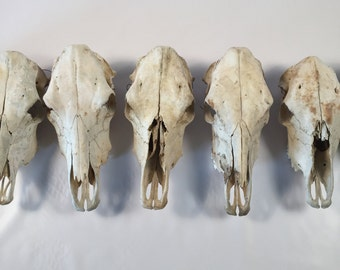 Taxidermy Skull Vintage Wall Hanging Cow Skull Wall Decor Real Cow Skull Cowboy Rustic Wall Hanging