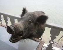 SALE....wild boar head, taxidermy, double tusk, huge wild boar,