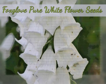Pure White Foxglove (digitalis)  Flower Seeds