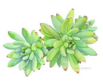 Succulent print of watercolour painting S416 - A3 size largest print, Succulent watercolour painting print, botanical art
