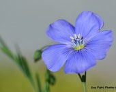 Wild Blue Flax, Flower Photograph, Card or Magnet, Cottage Chic, Garden Art, Romantic Decor, Bedroom Decor, Feminine, Blue wall art
