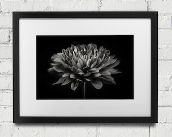 Black And White Photograph Of A Mum Flower Home Decor Floral Photography Petals Photo