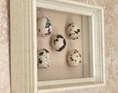Framed Quail Egg Specimen Box Shadow Box Framed Real Quail Egg Framed Bird Egg