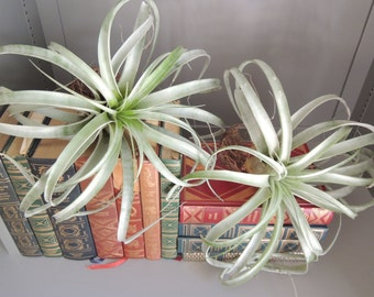 Large Xerographica / Queen of Air Plants / Air Plant / Large Air Plant