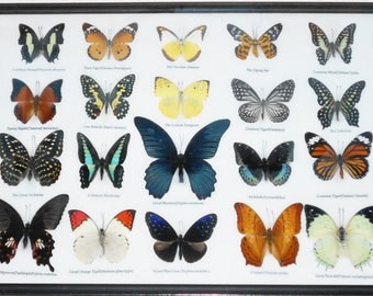 REAL 20 MIX BUTTERFLIES Collection Taxidermy Framed/BTF13D