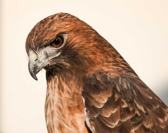 Red-Tailed Hawk. Birds of Prey. Hawks. Wildlife. Professional Print. Bird of Prey Photography by Liz Bergman. Liz and Rich Photography.
