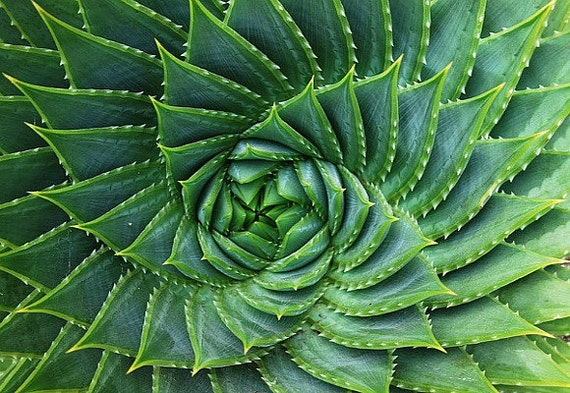 Aloe polyphylla spiraling succulent 5 rare seeds almost - Cool succulent plants ...