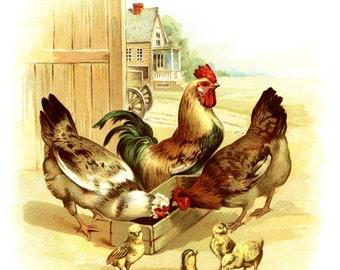 Chicken Print - Chicken Art - Antique Chicken - Chicken Picture - Rooster Print - Farm Art - Farm Print - Baby Chicks Print
