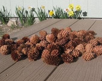 60  Blue Spruce pinecones
