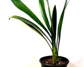 Good Hope Clivia Plant - 1 Gallon