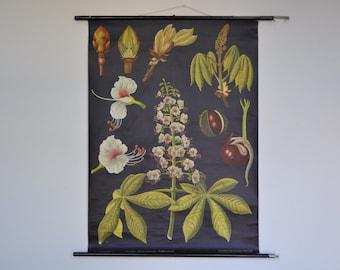 Original Mid Century Botany Print. Chestnut Tree. Pull Down School Chart. Jung Koch Quentell. Germany. Pull down chart. 1233