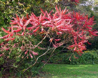 Staghorn Sumac Tree Seeds, Rhus typhina - 25 Seeds