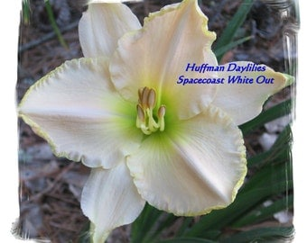 """Daylily, """"Spacecoast White Out, double fan, perennial"""