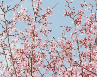 Pink Spring Tree Photograph Flower Photograph Spring Home Decor by Nacene Prchal