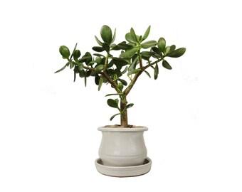 """Jade Plant Crassula Ovata 18"""" Tall Plant in a White Round Planter"""
