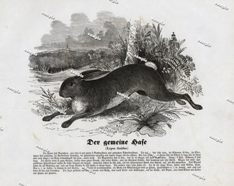 Authentic 1842 Natural History Print of Rabbit- bunny - Large print-black and white