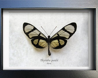 Spotted Glasswing Thyridia Psidii Real Butterfly From Peru Framed In Shadowbox
