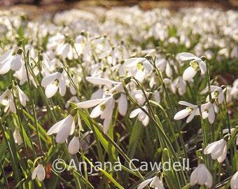 Snowdrop flower - Blank Greetings Card, Snowdrop Card, Snowdrop Landscape Card, Snowdrop Photography Card