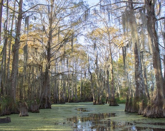 Louisiana Swamp Photograph. Nature Photo - Wall Art
