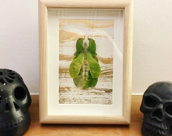 Framed Gray's Leaf Insect