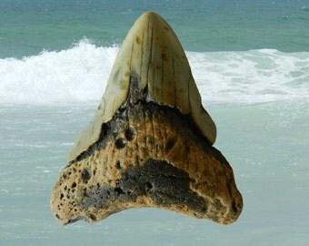 """Megalodon Shark Tooth (+3.50"""") MST-D011"""