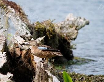Blue-winged Teal Duck Photograph // Florida Nature Print // Wakulla Springs