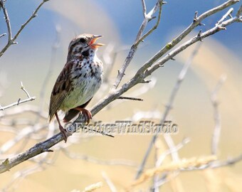Singing Bird Art Print | Song Sparrow Photo | Nature Wall Decor | Bird Themed Home Wall Art | Blue Beige Songbird Picture | Sparrow Image