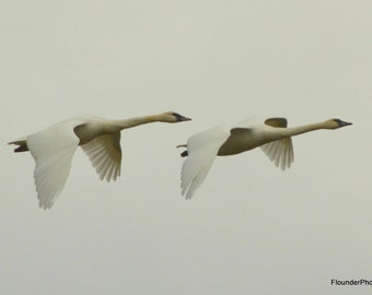 Trumpeter Swans in flight picture, wall art, photography, Fir Island Determination, Washington State art