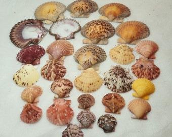 Lot of 32 Natural Beauties Scallop Seashells. RS 108. *FREE SHIPPING*