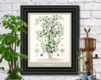Sarsaparilla Botanical Print Vintage Sarsaparilla Illustration Kitchen Wall Art Fruit Poster  0445