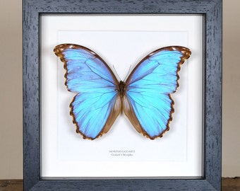 Godart's Morpho Butterfly in Box Frame (Morpho godarti)