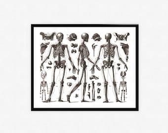 Human skeleton anatomy print, anatomy print, Human Anatomy,skeleton print,skull print,anatomical chart,medical illustration,vintage anatomy