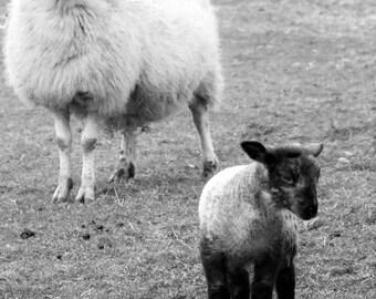 Black and White Sheep, Farming Scenes, Sheep Photography,Swaledale Sheep