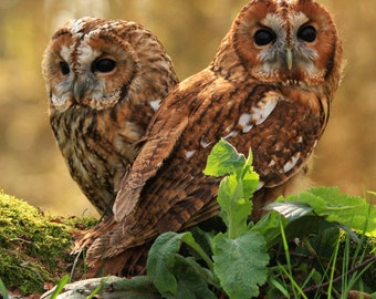 Tawny Owls Greeting Card, owl photo blank greeting card, two tawny owls, tawny owls any occasion card from original photograph