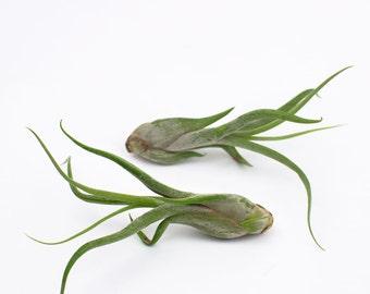The Medusa Sisters Air Plants, Terrarium Plants, Tillandsia caput-medusae air plants, Air Plants Bulk, indoor plants, house plants