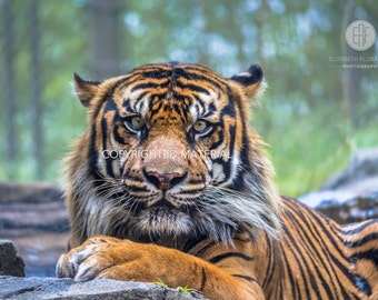 Tiger, Tigers, Sumatran Tiger, Big Cats, Cats, Fine Art Prints, Nature Photography, Wildlife Photography, Sumatra, Indonesia, Photos
