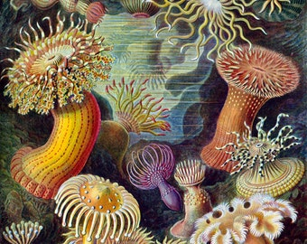 Sea Creatures Actiniae Plate  - Ernest Haeckel ~ Marine Biology Poster - Evolution - Science ~Giclee Fine Art Print