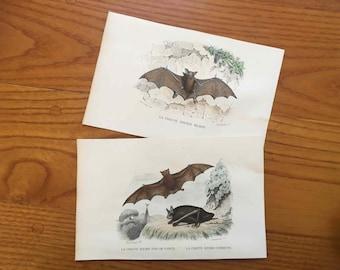 1837 ANTIQUE BAT ENGRAVINGS - set of 2 original antique prints - hand colored engraving - le chauve souris murin & la fer de lance