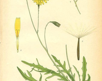 AUTUMN HAWKBIT - Botanical print reproduction 37