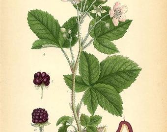 RUBUS NEMOROSUS - Botanical book plate 307