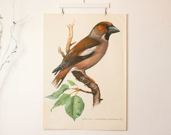 Vintage print on linen, Singing Bird, Hawfinch