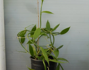 Vanilla Tahitensis (Tahitian Vanilla Orchid) Live Plant