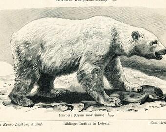 Polar bear print bear cat print racoon print carnivores print predator animal print natural history : Antique 1890s engraving old book plate