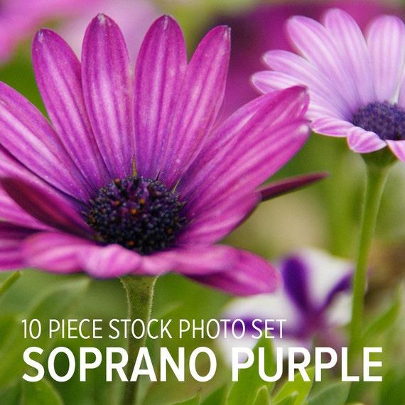 Soprano Purple Flower Stock Photo Set   Garden Daisies   Digital Photography   Fuchsia Lavender Magenta   Daisy