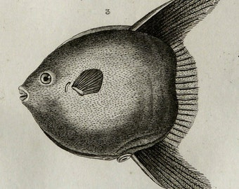 1837 Antique print of PUTTERFISHES, different species. Sunfish. Moonfish. Sea Life. Natural History. 179 years old engraving