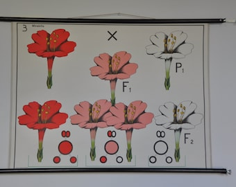 Mid Century Biology Classroom Chart. Mendel's Law in Mirabilis. Flower. Science. Pull Down School Poster. Pink. Red. Vintage Dutch. 1206